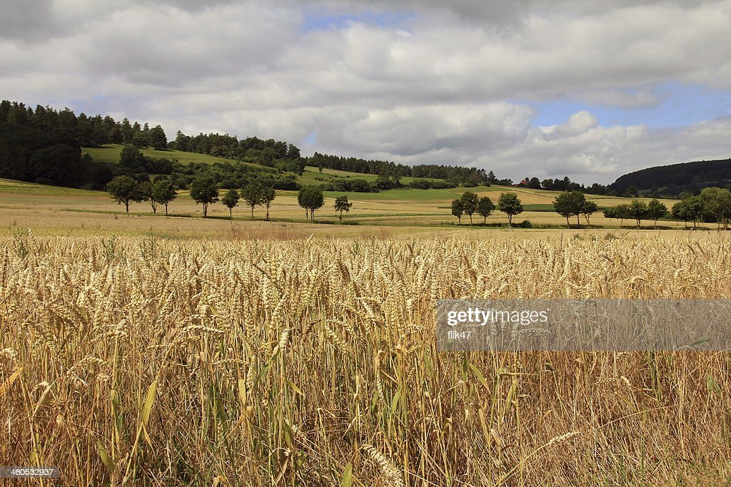 Golden wheat field : Stockfoto