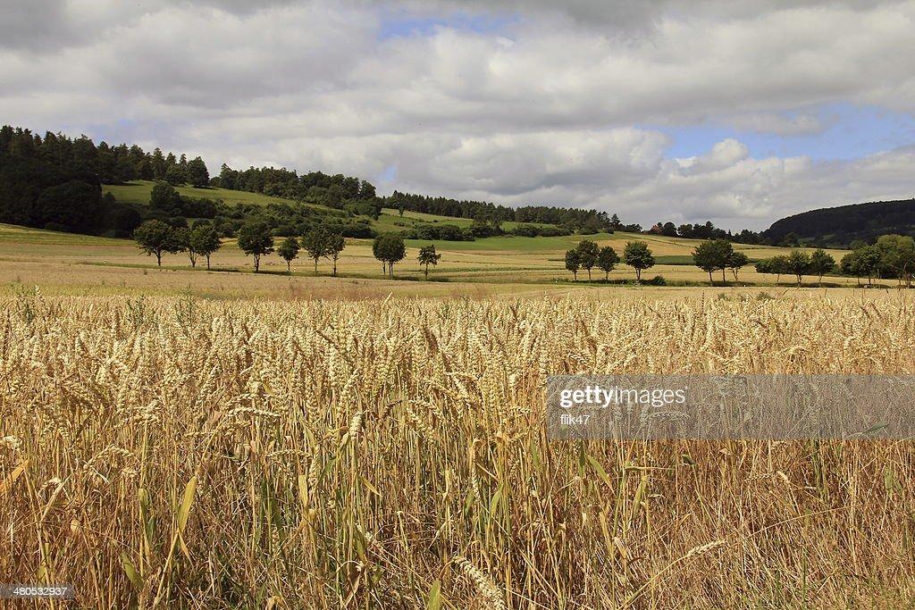 Champ de blé doré : Photo
