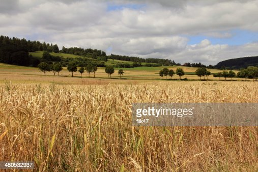 Golden wheat field : Bildbanksbilder