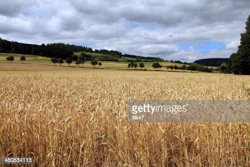 Golden wheat field : Stock Photo