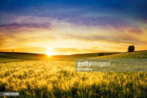 Campo de trigo dourado-Paisagem do pôr do sol