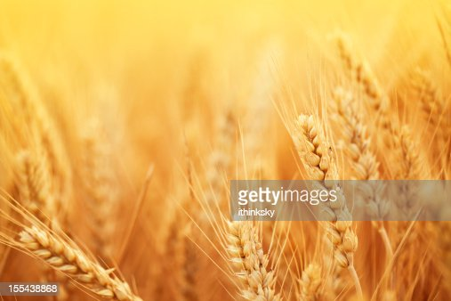 Golden wheat in harvest season on farm