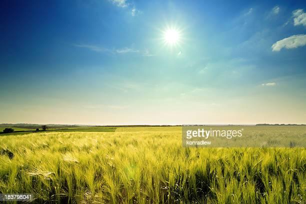 Golden wheat landscape