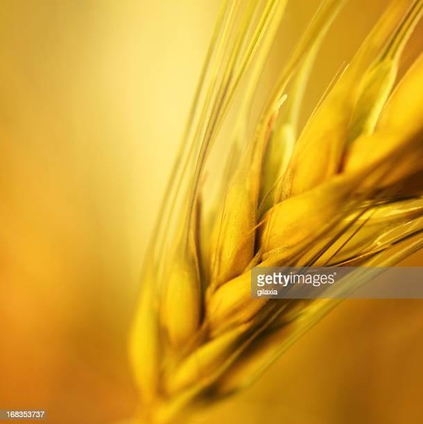 Golden trigo en primer plano.