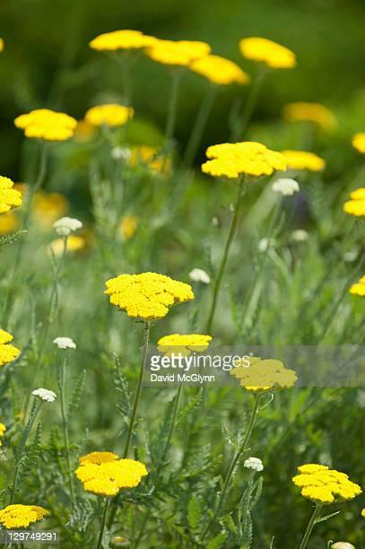 Golden Yarrow flowers