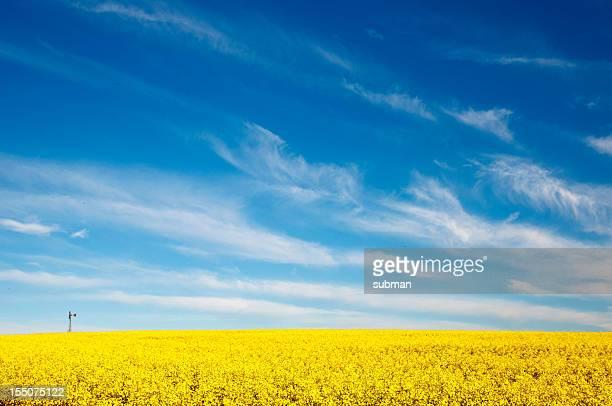Golden amarelo de Canola campos