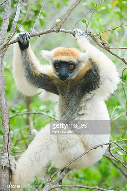 Golden-crowned Sifaka lemur (Propithecus tattersalli) Fenamby Reserve, Daraina, Madagascar
