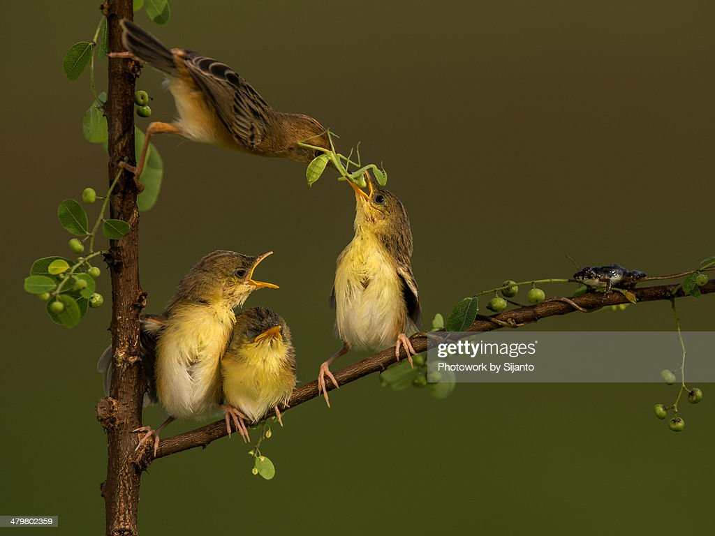 Golden-headed Cisticola - Female