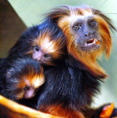 A goldenheaded lion tamarin female carries its recently born twins 15 April at a zoo in Curitiba Brazil The female has produced three pairs of twins...