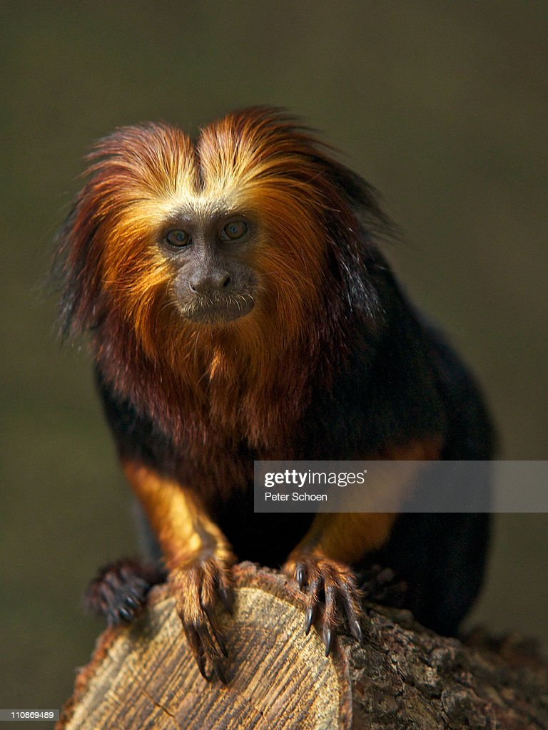 Golden-headed Lion Tamarin : Stock Photo