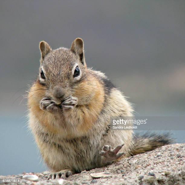 Golden-Mantled Ground Squirrel in Colorado