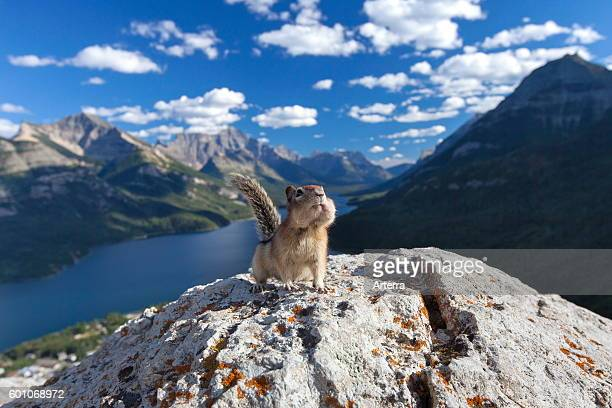 Goldenmantled ground squirrel on rock in the Canadian Rockies Alberta Canada