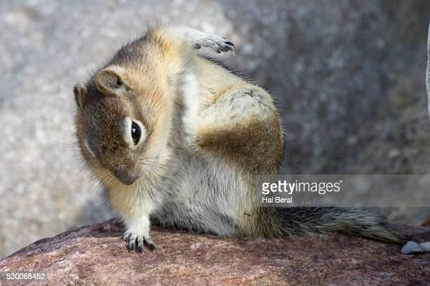 Golden-mantled ground squirrel scratching