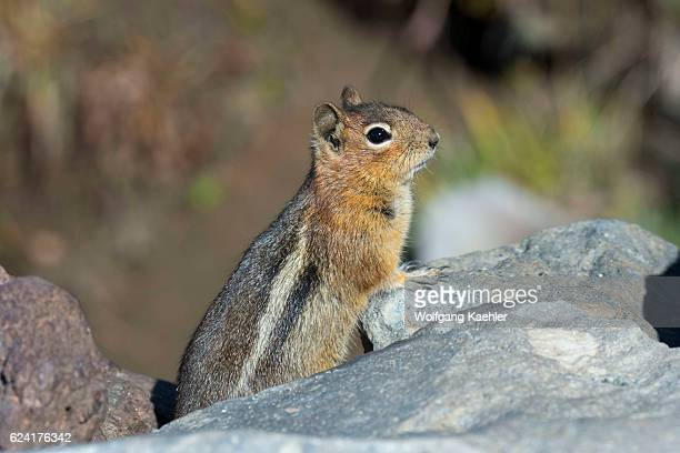 Goldenmantled Ground Squirrel sitting on a rock at Paradise in Mt Rainier National Park in Washington State USA