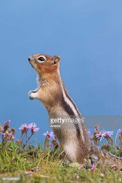 Goldenmantled ground squirrel standing upright native to western North America