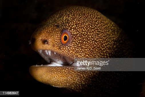 Goldentail Moray Eel, Dominica