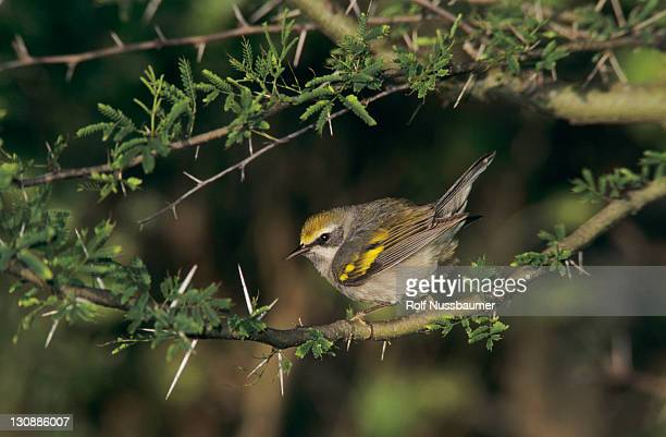 Golden-winged Warbler (Vermivora chrysoptera), female, South Padre Island, Texas, USA