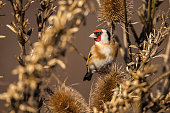 Carduelis carduelis, Goldfinch, bird
