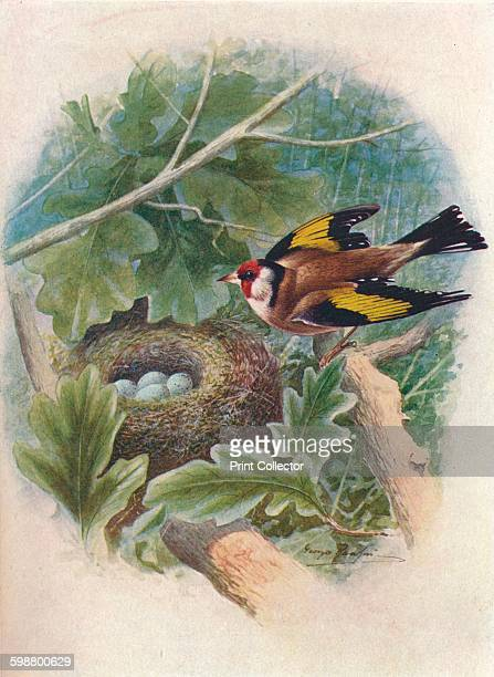 Goldfinch Carduelis elegans circa 1910 From Britains Birds and Their Nests by A Landsborough Thomson [The Waverley Book Company Limited W R Chambers...