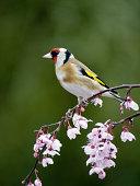 Goldfinch, Carduelis carduelis, single bird on blossom, Warwickshire, March 2012