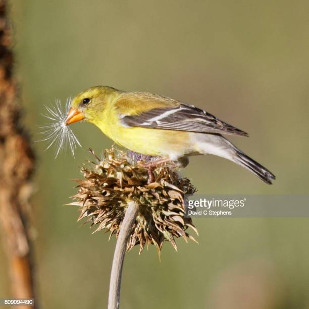 Goldfinch Enjoys Thistle Seeds