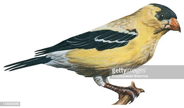 Goldfinch Goldfinch