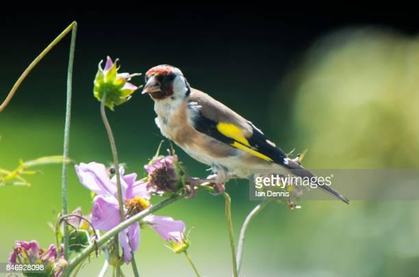 Goldfinch in the Garden