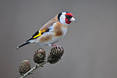 Photo of goldfinch standing on a branch