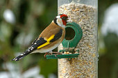 A European goldfinch (Carduelis carduelis) sits on a silo bird feeder filled with mixed seeds.