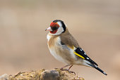 A European Goldfinch (Carduelis carduelis) standing on bare earth against a blurred natural background, Yorkshire, UK