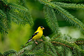 A male American Goldfinch perches on a pine tree branch, horizontal,copy space, outdoors shoot, Canada