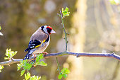 Goldfinch perched on a tree branch