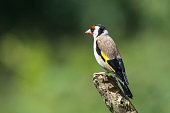 Goldfinch perched on top of a branch