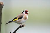 Goldfinch Lochwinnoch