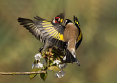 Goldfinches fighting on cherry blossom