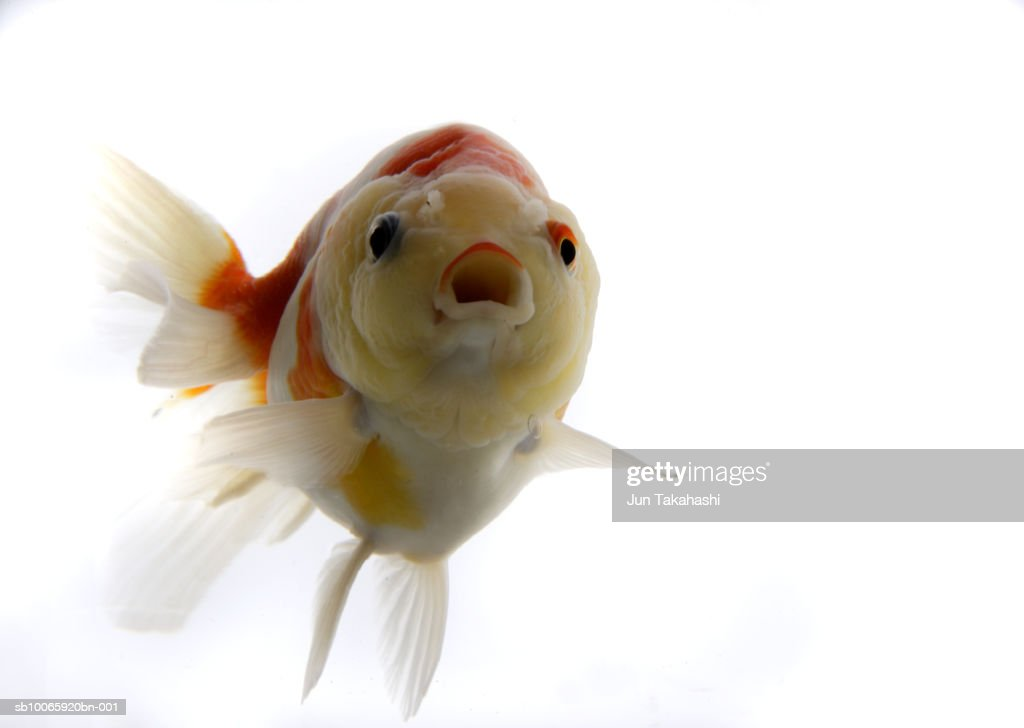 Goldfish against white background, close-up : Stock Photo
