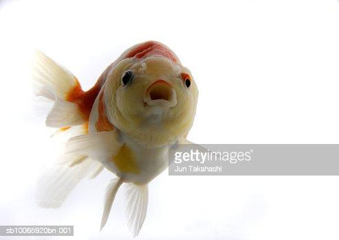 Goldfish against white background, close-up : Stock-Foto