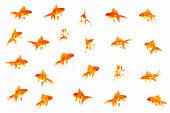 Goldfish (Carassius auratus auratus) against White background (Digital composite)