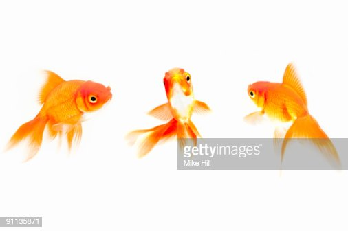 Goldfish against White background : Stock Photo
