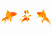 Goldfish against White background
