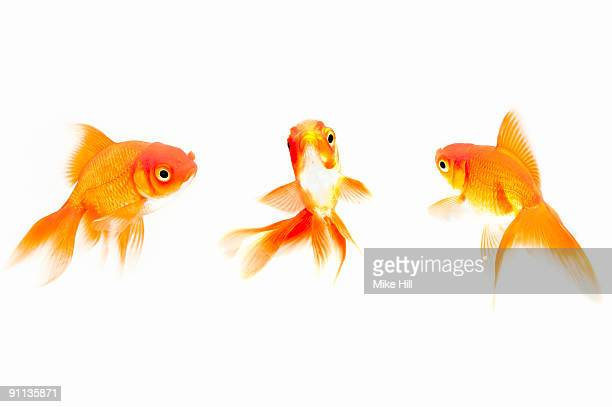 Goldfish against White background
