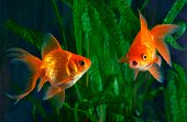 Goldfish, aquarium, a fish on the background of aquatic plants