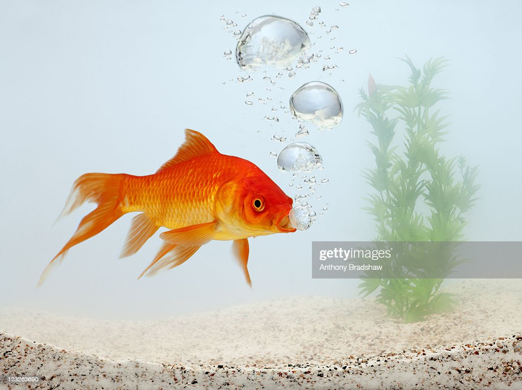 Goldfish blowing bubbles : Stock Photo