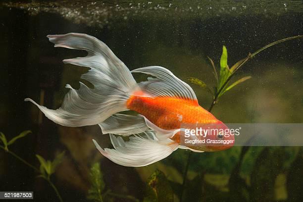 Goldfish -Carassius gibelio forma auratus-