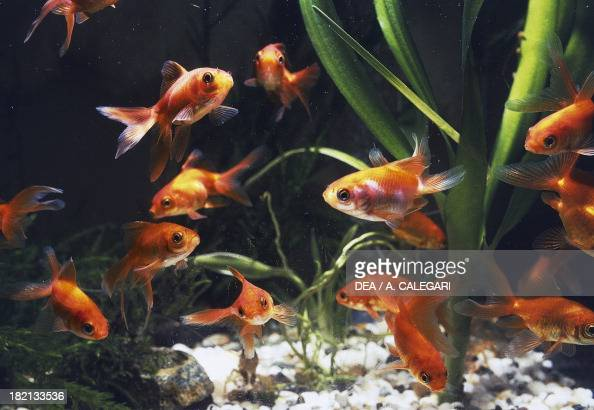 Cypriniformes Stock Photos and Pictures Getty Images