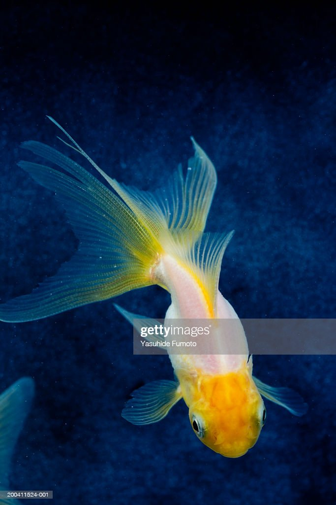 Goldfish, elevated view : Stock Photo