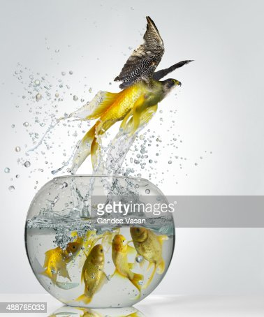 Goldfish Falcon