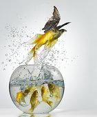 Goldfish Falcon