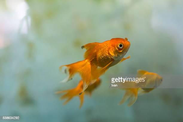 Goldfish Family Swimming Forward