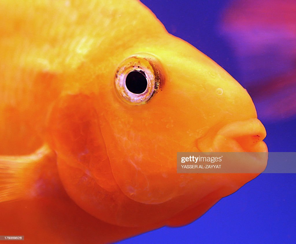 A goldfish for sale swims in an aquarium at a market in Kuwait City on September 2 where each fish is sold for three Kuwaiti Dinar AFP PHOTO/YASSER...